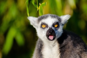 lemur-1106501_960_720